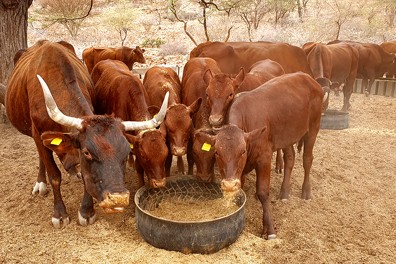 Dürre Rinder Futter Buschhäcksel Farm BüllsPort Namibia