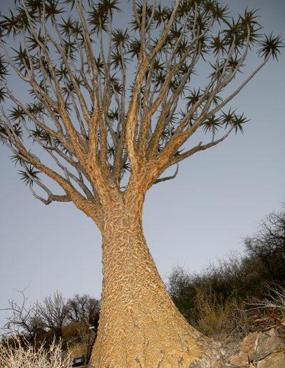 006 My Quiver Tree BüllsPort Naukluft Namibia