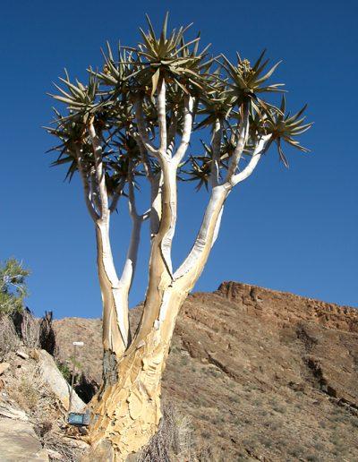 007 My Quiver Tree BüllsPort Naukluft Namibia