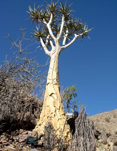 008 My Quiver Tree BüllsPort Naukluft Namibia