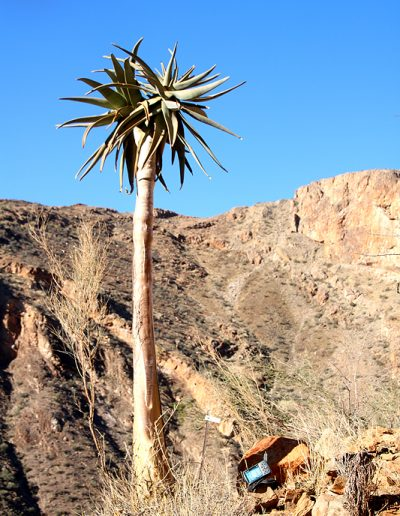023 My Quiver Tree BüllsPort Naukluft Namibia
