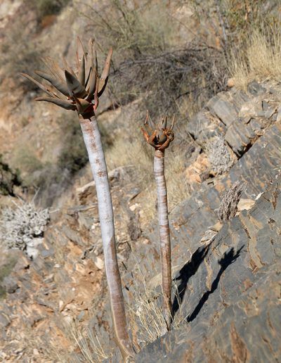029 My Quiver Tree BüllsPort Naukluft Namibia