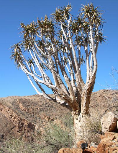 032 My Quiver Tree BüllsPort Naukluft Namibia