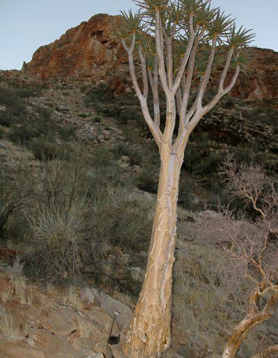 050 My Quiver Tree BüllsPort Naukluft Namibia