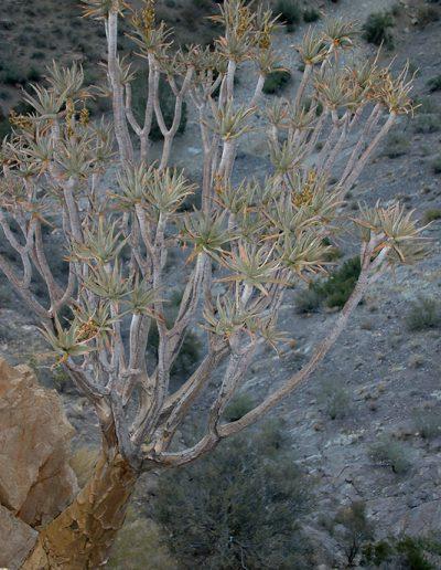 051 My Quiver Tree BüllsPort Naukluft Namibia