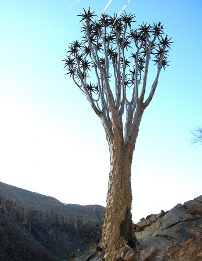 053 My Quiver Tree BüllsPort Naukluft Namibia