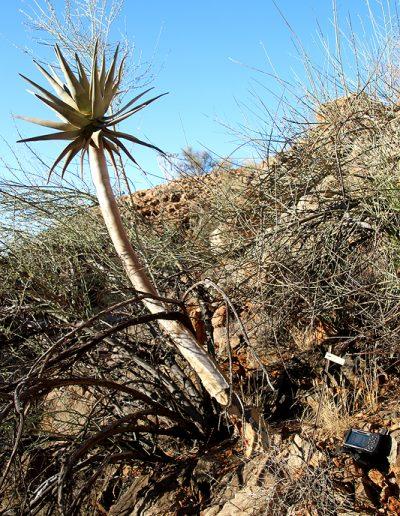 057 My Quiver Tree BüllsPort Naukluft Namibia