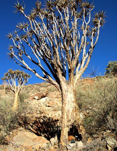 059 My Quiver Tree BüllsPort Naukluft Namibia