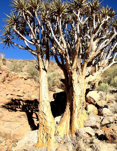 060 My Quiver Tree BüllsPort Naukluft Namibia