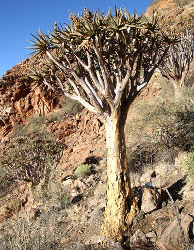 061 My Quiver Tree BüllsPort Naukluft Namibia