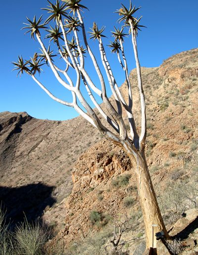 062 My Quiver Tree BüllsPort Naukluft Namibia