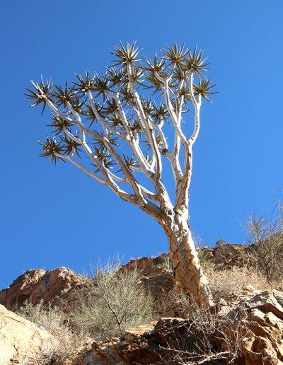 063 My Quiver Tree BüllsPort Naukluft Namibia