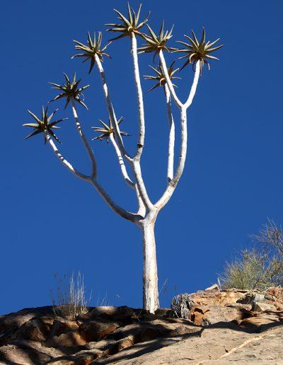 064 My Quiver Tree BüllsPort Naukluft Namibia
