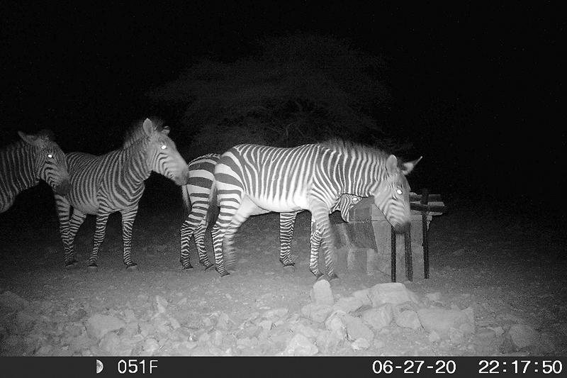"Hartmann's (mountain) zebras at ""Pavianposten"" water point in the private nature reserve of BüllsPort in the Naukluft Mountains. Camera trap shot (June 2020): BüllsPort"