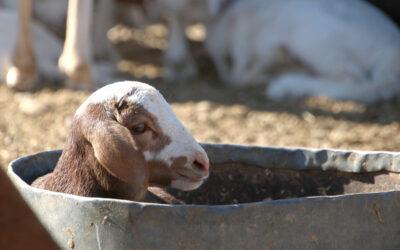 Lambs instead of calves